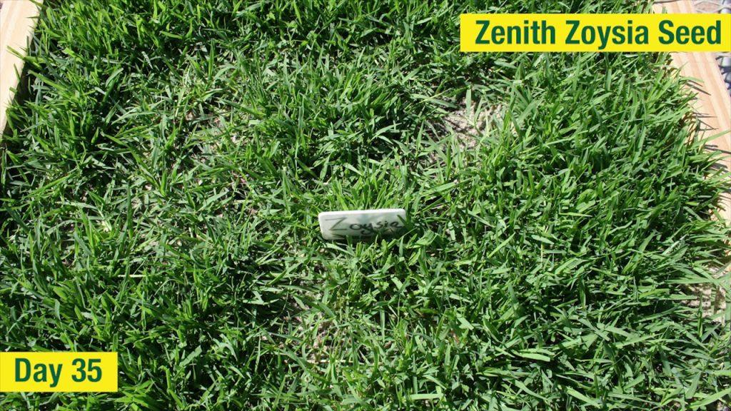 Zoysia Grass Reviews